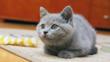 britanska kratkodlaka mačka