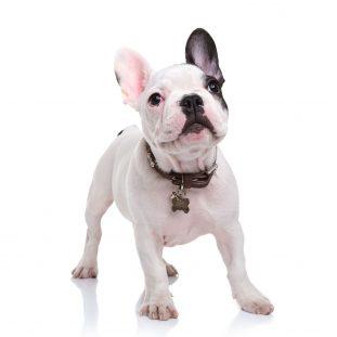 francuski bulldog