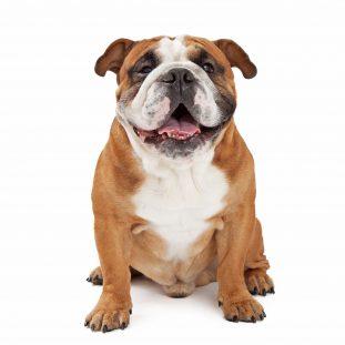 engleski bulldog