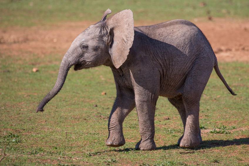 najveća kopnena životinja