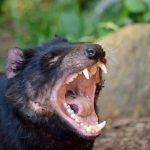tasmanijski vrag