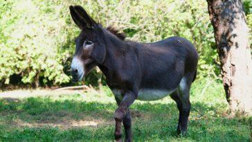 istarski magarac