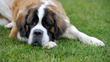 najveće pasmine pasa