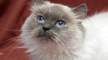 himalajska mačka
