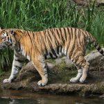 sibirski tigar
