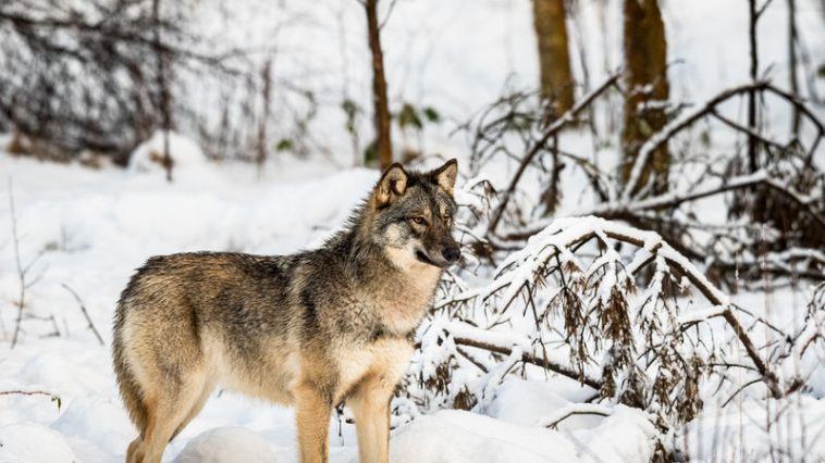 sivi vuk