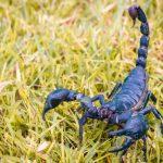 kraljevski škorpion