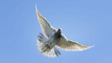 utrke golubova