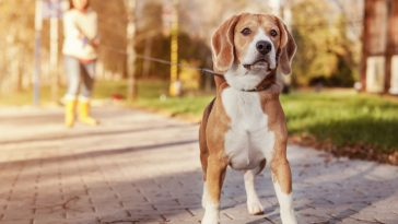 kako šetati psa