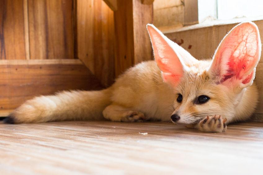 pustinjska lisica