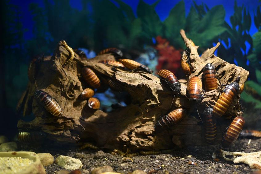 madagaskarski siktajući žohar