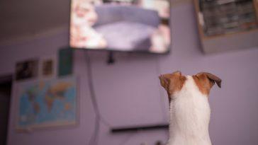 ljubimac gleda televiziju