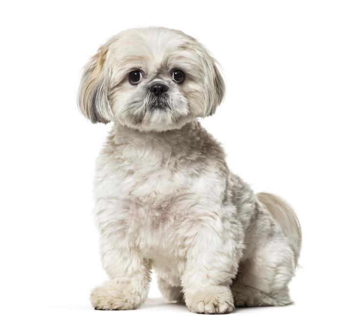 najmanje pasmine pasa