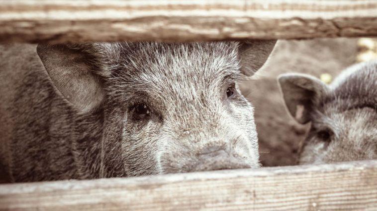 turopoljska svinja