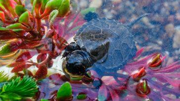 kornjače
