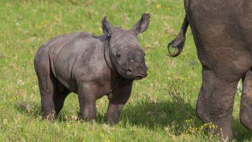 beba nosorog