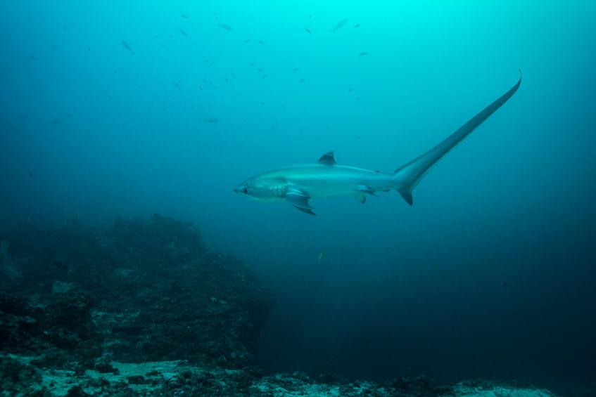 morski psi u jadranskom moru