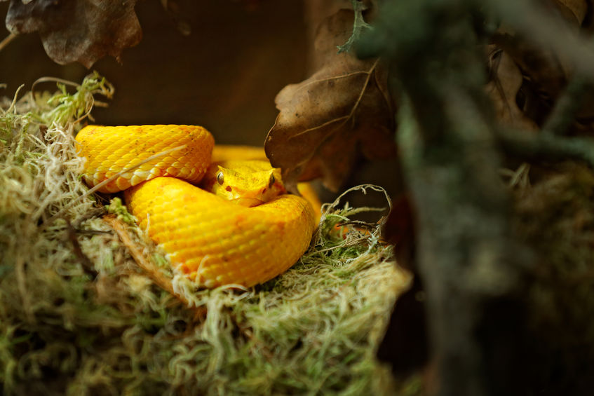 zlatna zmija