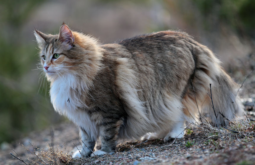 norveška šumska mačka