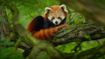 crvena panda