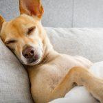 pseća gripa