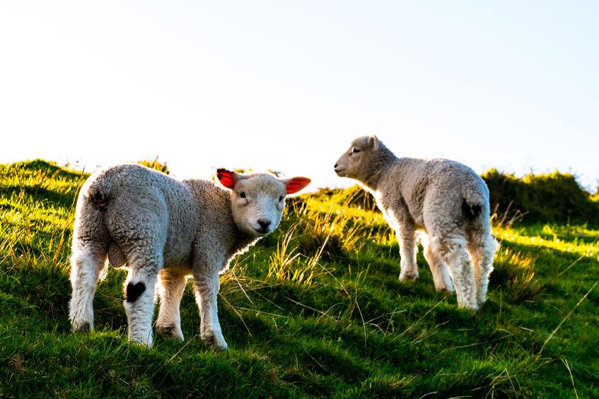 zagrli ovcu dan