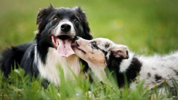 socijalizacija psa