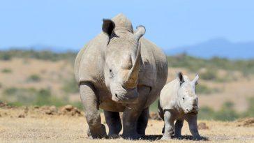 bijeli nosorog