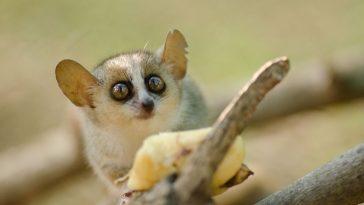 mišji lemur madame berthe