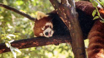 međunarodni dan crvene pande