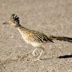 ptica trkačica