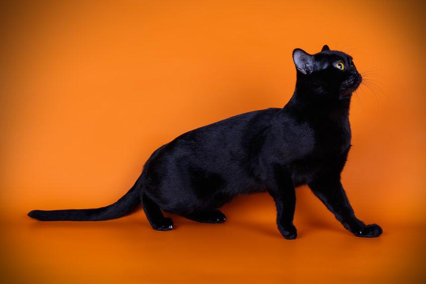 bombajska mačka