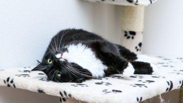 kako njegovati dugodlaku mačku
