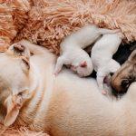 Koliko dugo štene mora ostati s mamom