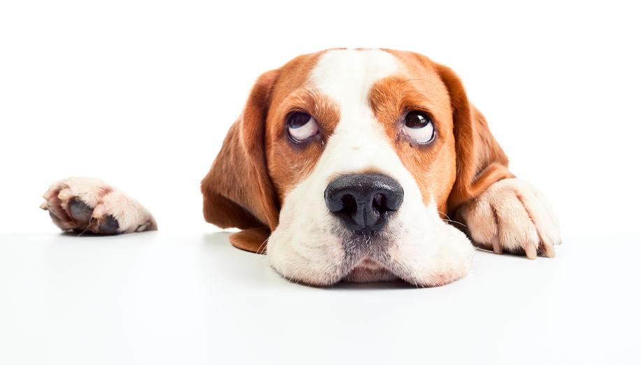 najpopularnije male pasmine pasa na svijetu