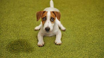 Kako naučiti psa da obavlja nuždu vani