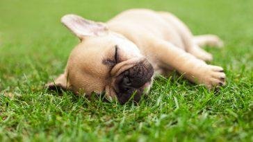 sanjaju li psi
