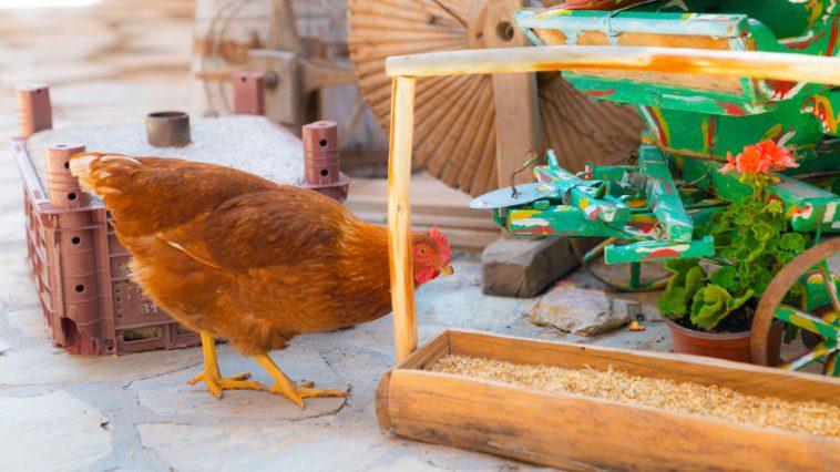 kokoš kao kućni ljubimac