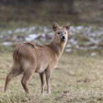 vodeni jelen