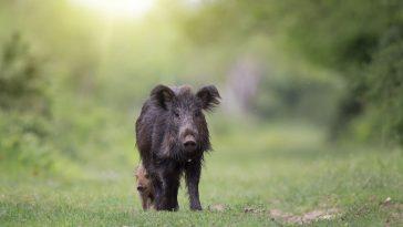 pigmejska svinja