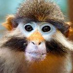 Crvenokosi majmun