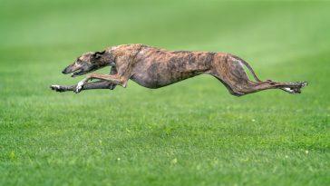 najbrži psi na svijetu