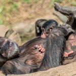 mame čimpanze