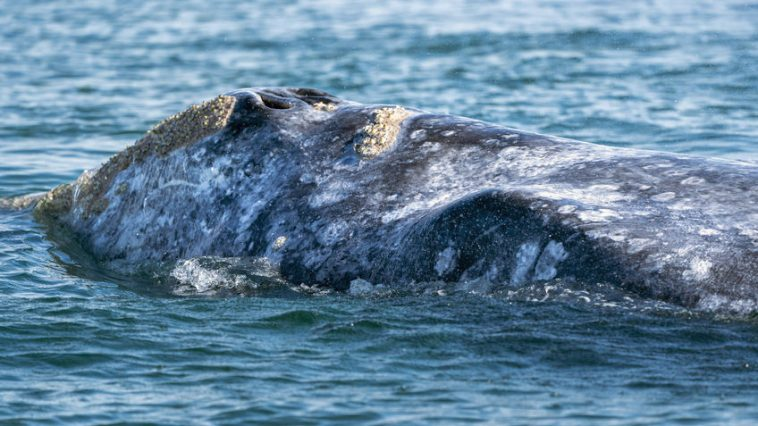 sivi kitovi