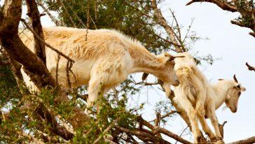 koze na drvetu