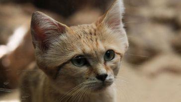 pustinjska mačka